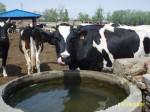 奶牛黑白花奶牛荷斯坦奶牛