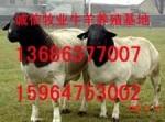 山东大型纯种杜泊羊小尾寒羊养殖供求基地梁山畜牧局诚信牧业