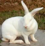 獭兔、新西兰白兔、加利福利亚兔、比利时兔、