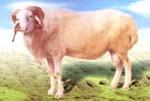 小尾寒羊,小尾寒羊种苗,小尾寒羊羊苗