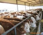 解决牛的乳房炎 腐蹄病 拉稀腹泻奶水少 牛的菜 绿色饲料 添加剂