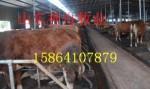供肉牛犊种牛犊西门塔尔牛鲁西黄牛利木赞牛