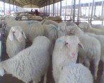 波尔山羊养殖场 最新波尔山羊价格 波尔山羊养殖技术