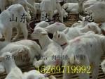 出售肉羊屠宰羊150斤