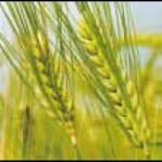 澳大利亚进口大麦