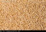 优质普通小麦